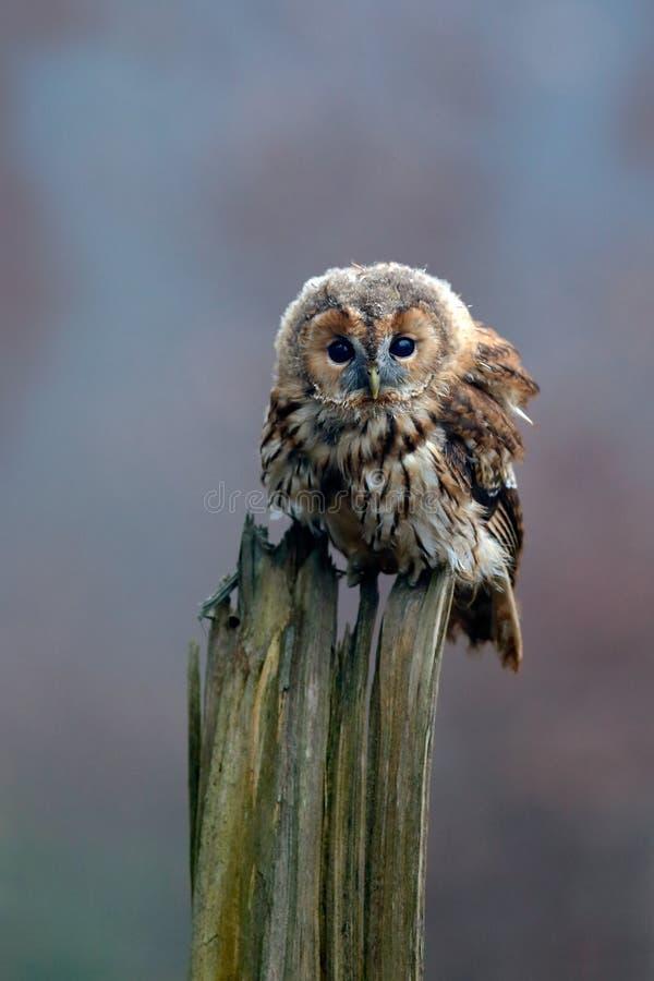 Brunt sammanträde för gulbrun uggla för fågel på trädstubbe i den mörka skoglivsmiljön Härligt fågelsammanträde på den gröna lavf arkivbild