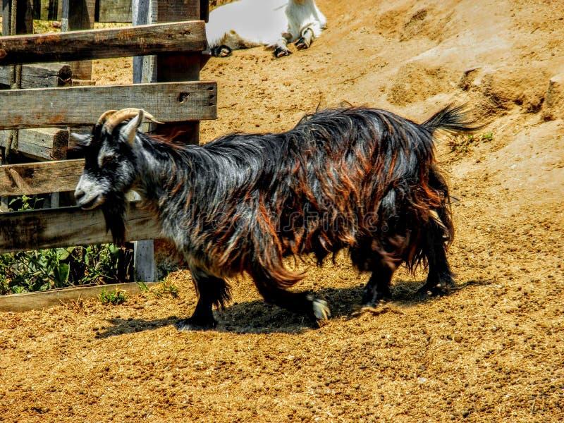 Brunt, svartvit getabock med lång päls och horn royaltyfri fotografi