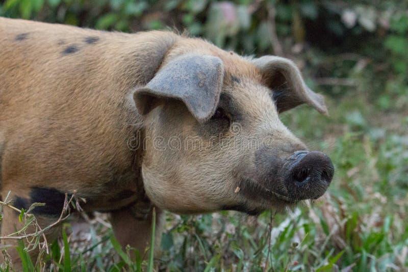 Brunt svin med den svarta näsan på lantgården Gullig gödsvin i gyttjan Begrepp för nötkreaturlantgård Boskapbakgrund arkivbilder