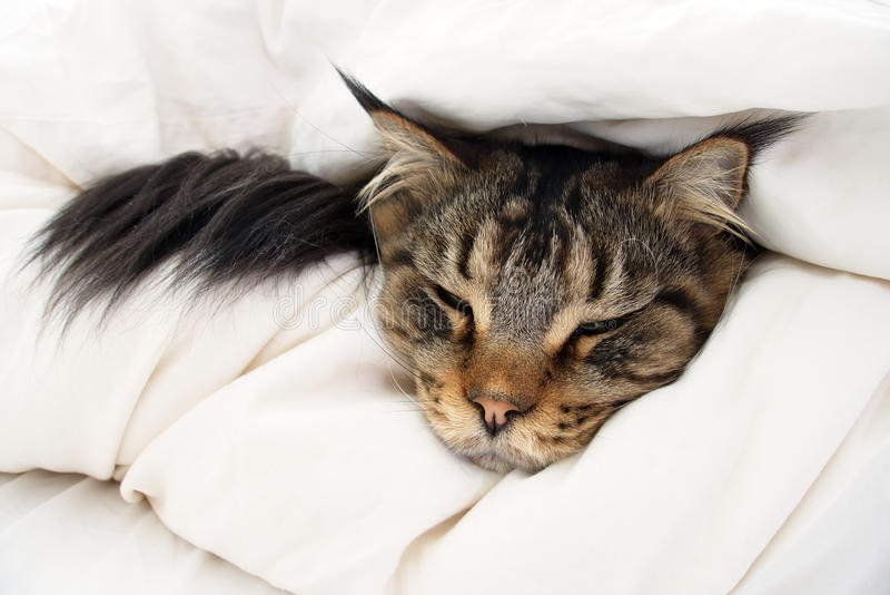 Brunt Tabby Maine Coon Cat nederlag i duntäcke royaltyfri fotografi