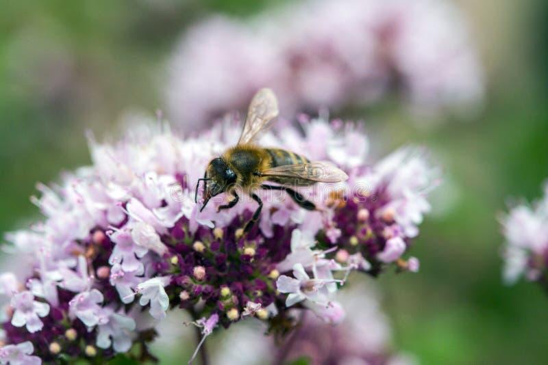Brus pszczoła na Oregano kwiatach zdjęcie stock