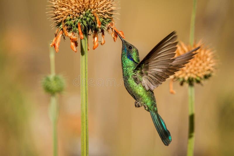 Brusandeviolett-öra, Colibri coruscans som svävar bredvid den orange blomman, fågel från höga höjder, machupicchu royaltyfria bilder