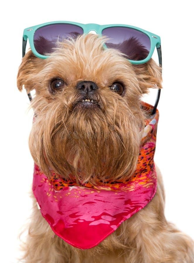Download Bruselas Griffon En Gafas De Sol Imagen de archivo - Imagen de vacaciones, perro: 41921465