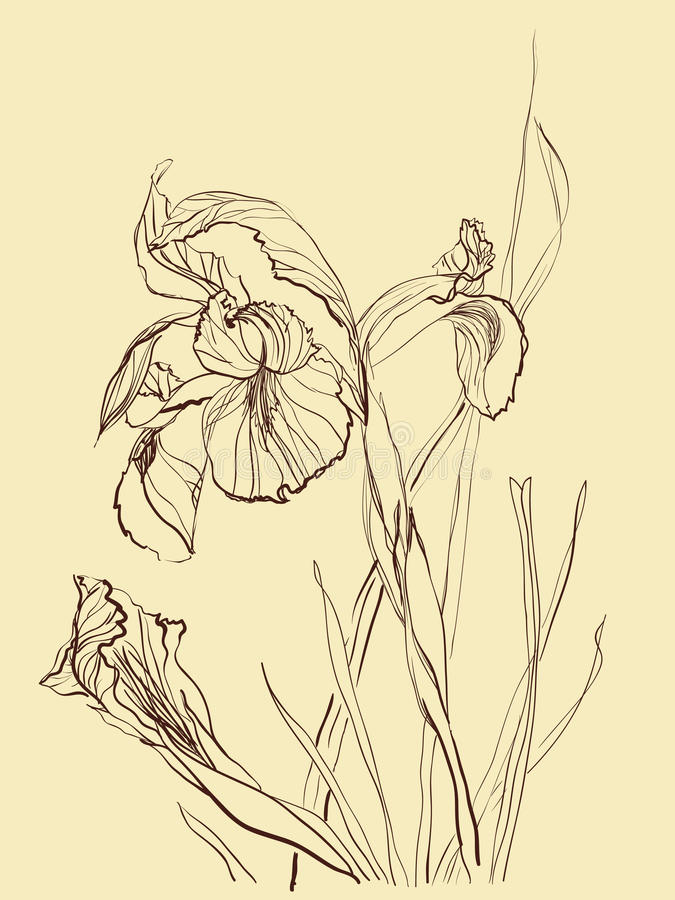 Download Brush drawing iris flower stock vector. Image of floral - 16251603
