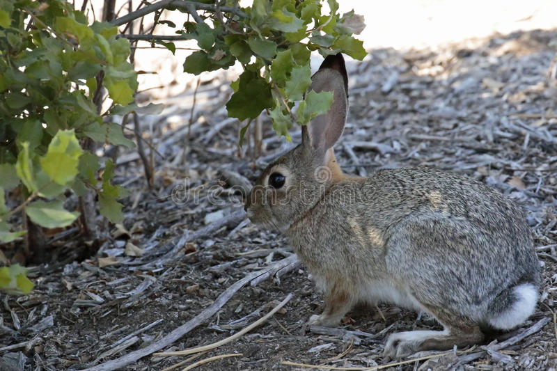 Brush Rabbit. The gray underside of its powderpuff tail distinguishes the Brush Rabbit from the Desert Cottontail royalty free stock image