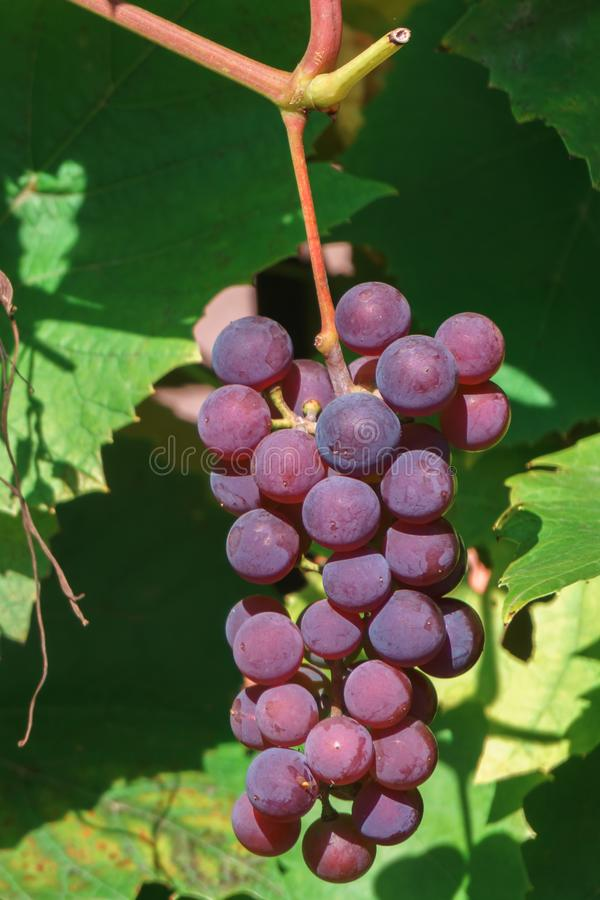 Brush ripening grapes among the leaves stock image