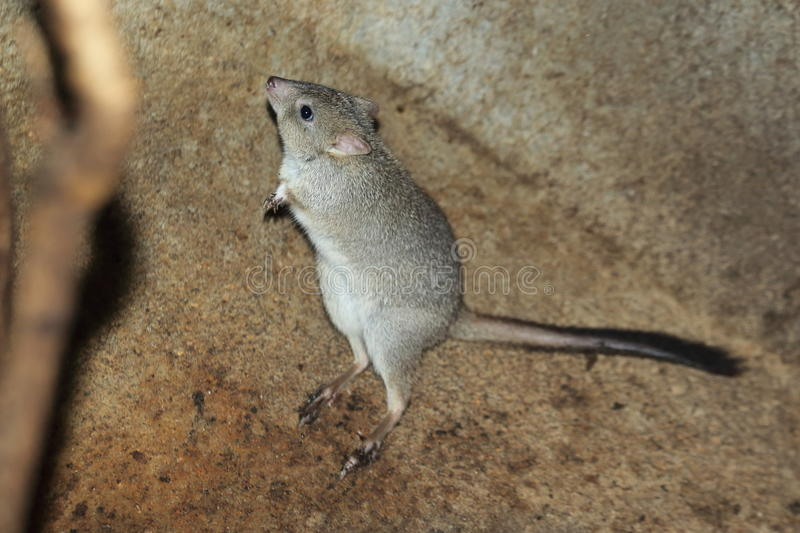 Brush-tailed bettong royalty free stock image