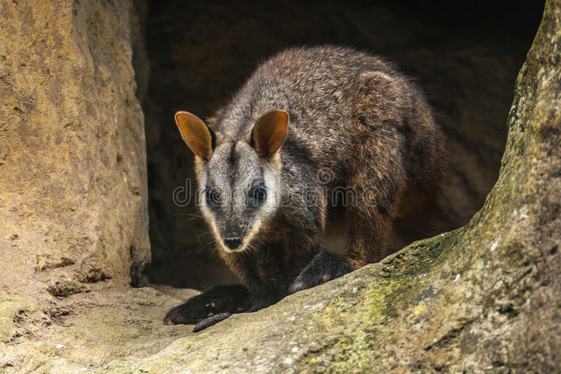 Download Brush-tailed Rock-Wallaby stock image. Image of australia - 60509589