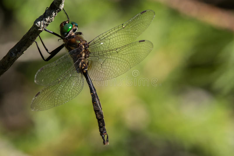 Brush-tipped Emerald Dragonfly stock photos