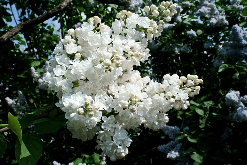 Brush white lilac in the June sun stock photography