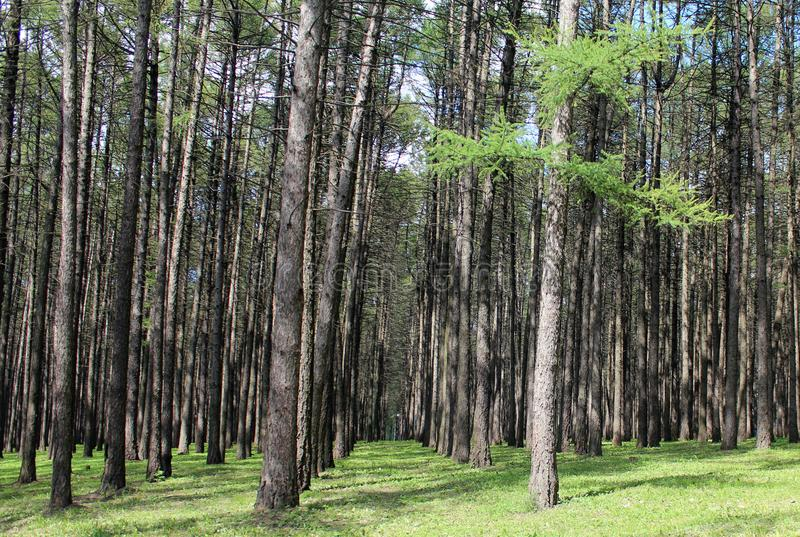 Brushed forest royalty free stock photography