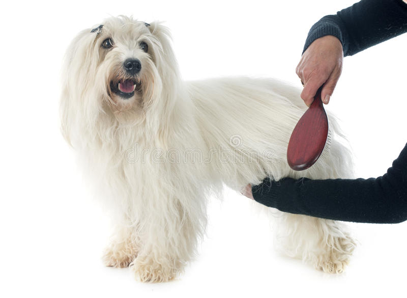 Brushing coton de tulear. A woman brushing coton de tulear in front of white background royalty free stock photo
