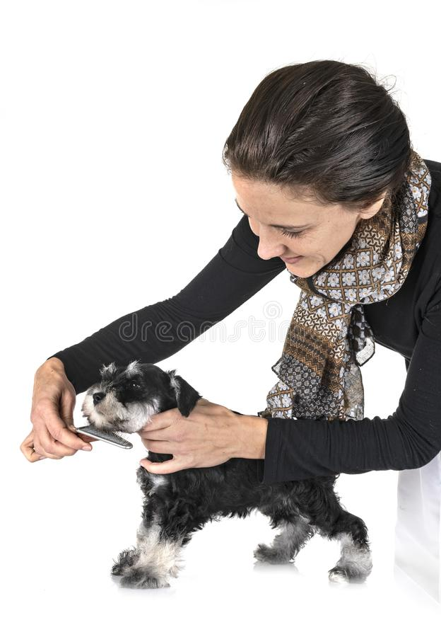 Brushing puppy miniature schnauzer stock photos