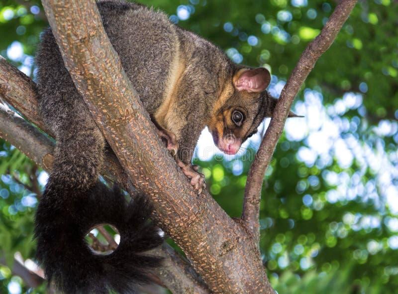 Brushtail Possum stock image