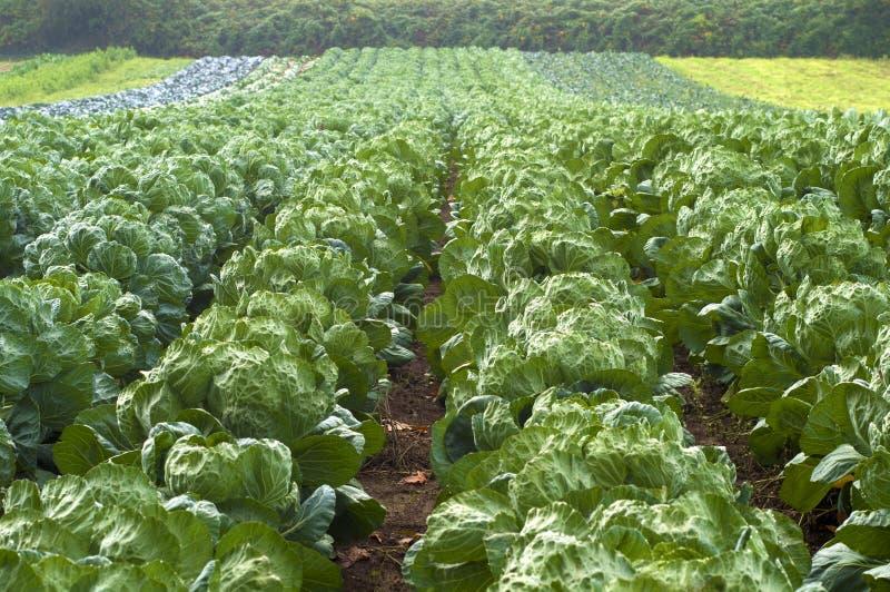 Brussel - ростки растя в строках в поле фермы в Портленде, Орегоне стоковые изображения rf