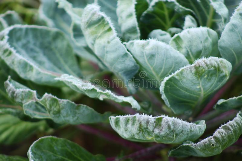 Frosty brussel sprouts. Brussel sprouts in garden with frost on leaves royalty free stock images