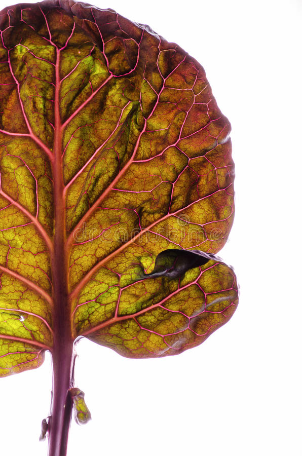 Download Brussels cabbage leaf stock photo. Image of angiosperm - 36862030