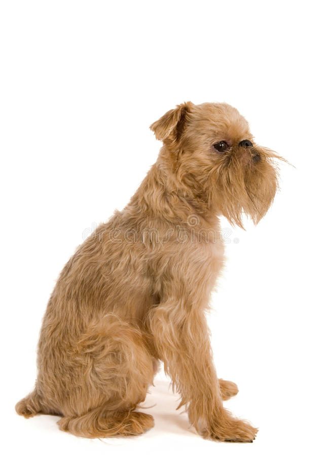 Download Brussels griffon stock photo. Image of griffon, animal - 9864944