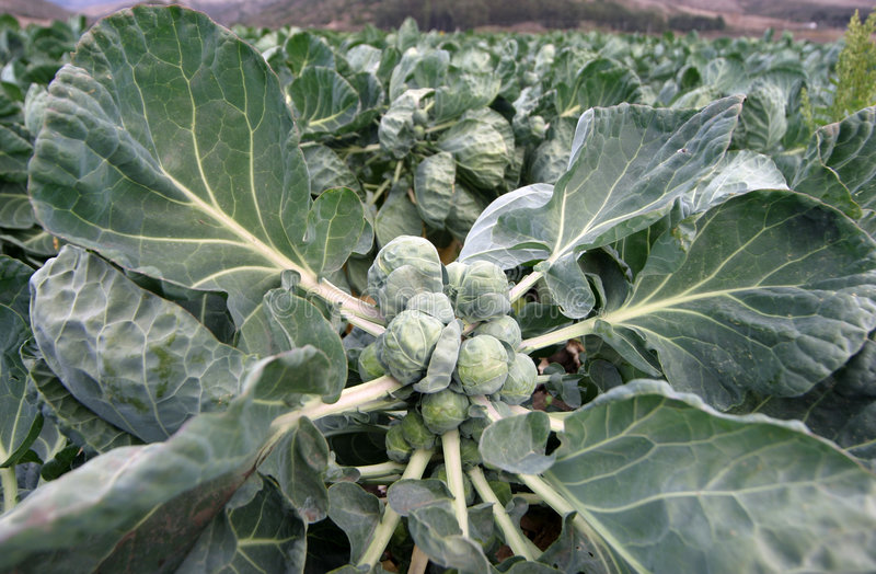 Brussels Sprouts in Field royalty free stock photos