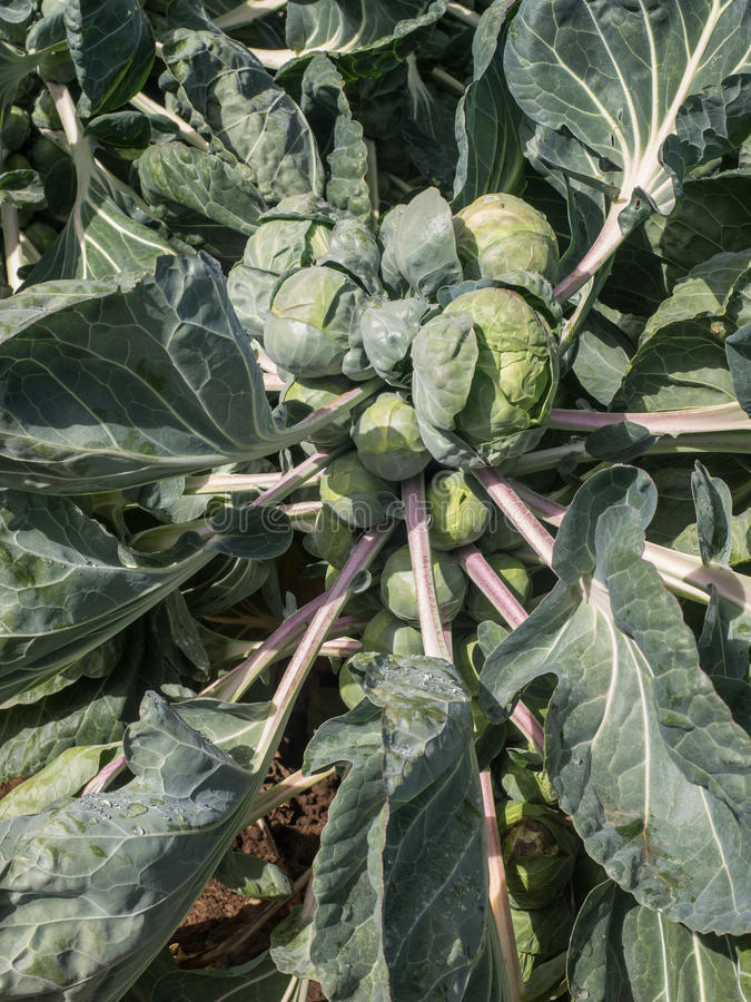 Brussels Sprouts in the field. Brussels Sprouts growing in a large agricultural field in California stock photo