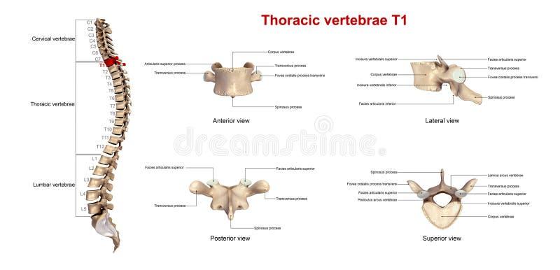 Brust- Wirbel T1 vektor abbildung