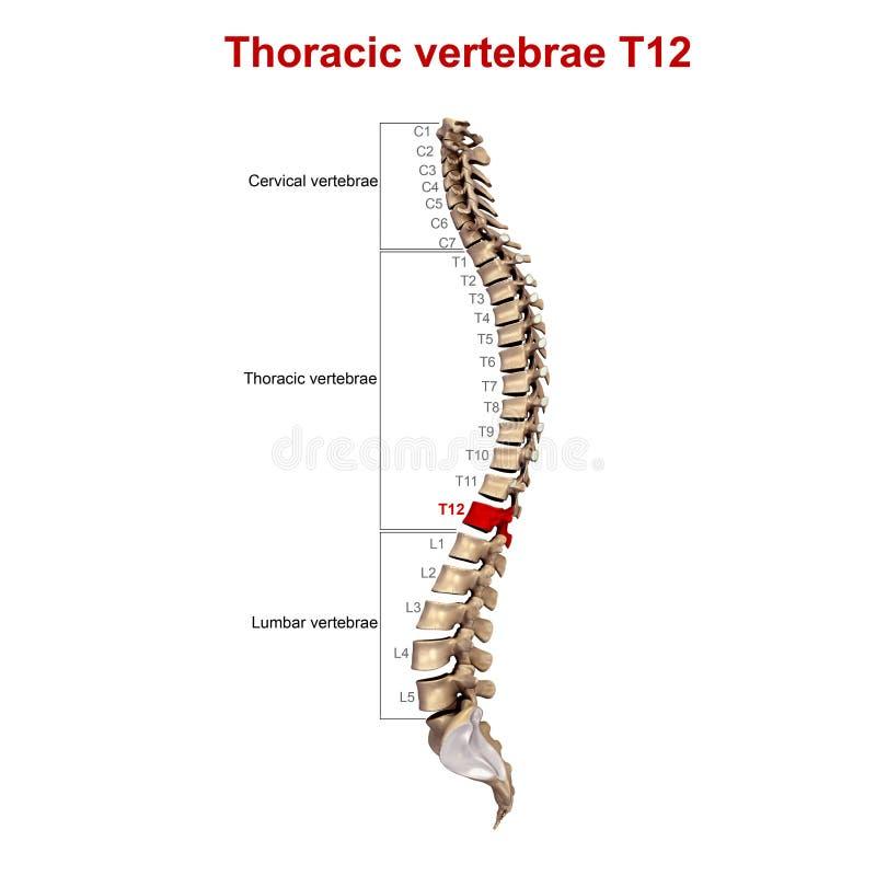 Brust- Wirbel T12 stock abbildung. Illustration von backache - 81703935