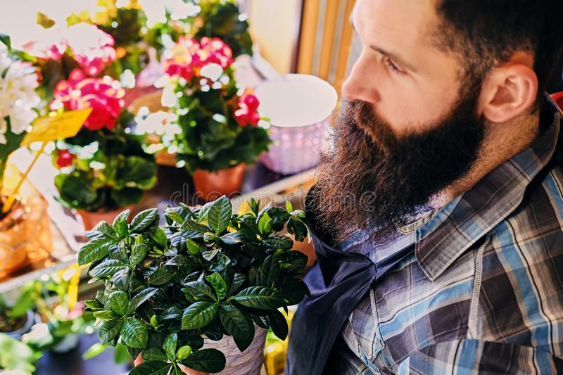 Brutal bearded flower seller with tattoos on his arms in a flowe. R shop royalty free stock photography