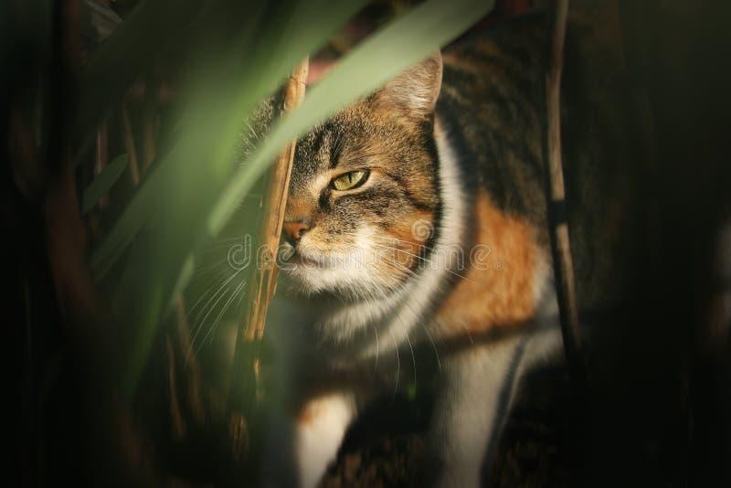 Brutalny i okrutny spojrzenie domową figlarką chodzi przez zwartej dżungli Magiczny i niezmienny grymas na ja Felis catus zwierzę zdjęcie royalty free