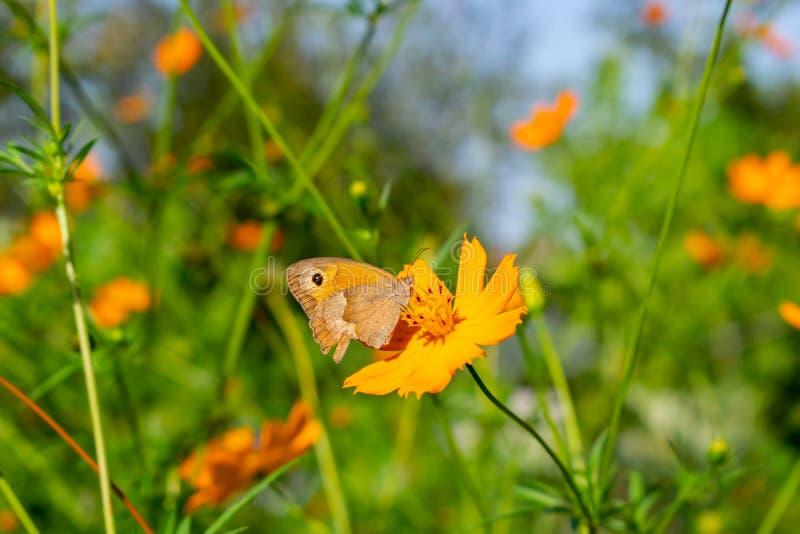 Bruten fjäril för vinge på den gula blomman Utformar blom- bakgrund för blomman Garden arkivfoto