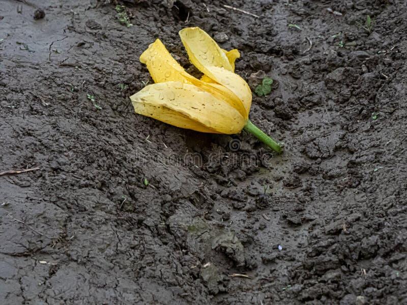 Bruten skadad blom av den gula tulpan som l?gger i gyttjah?g royaltyfri fotografi