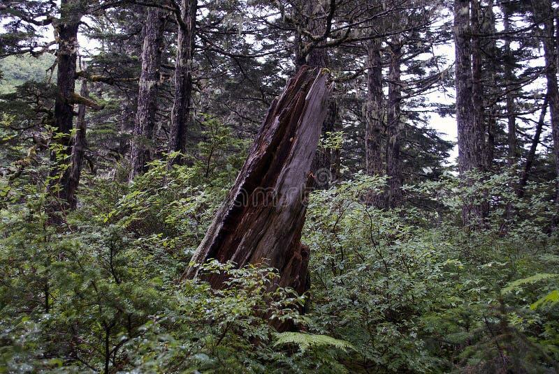 Bruten trädstubbe i alaskabo berg royaltyfri fotografi