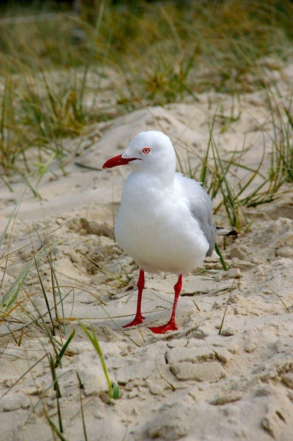Brutet huvud NSW för vinterSeagull arkivfoto