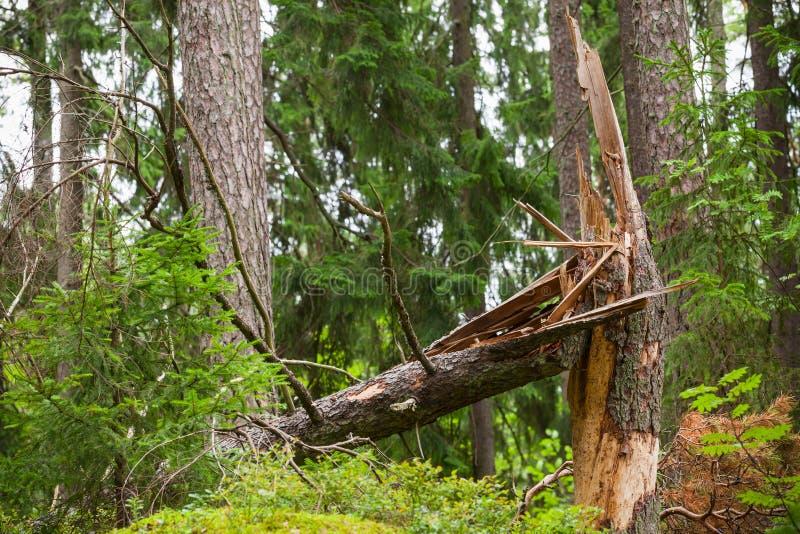 Download Brutet Prydligt Träd I Skog Arkivfoto - Bild av landskap, tomt: 76702490