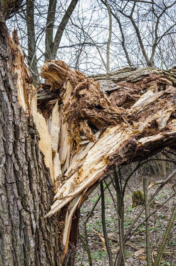 Brutet träd arkivfoton