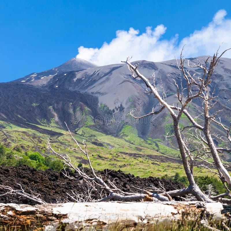 Brutet träd i härdat lavaflöde på lutning av Etna royaltyfria bilder