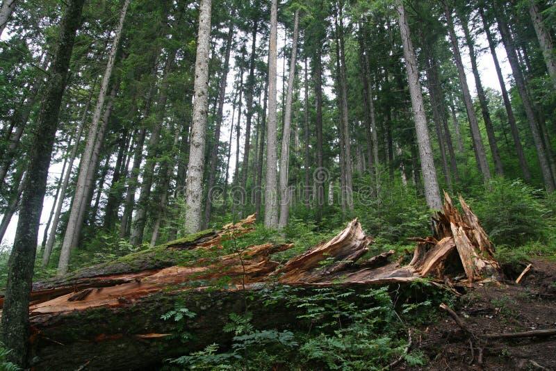 Brutet träd i skogen i sommar royaltyfri bild