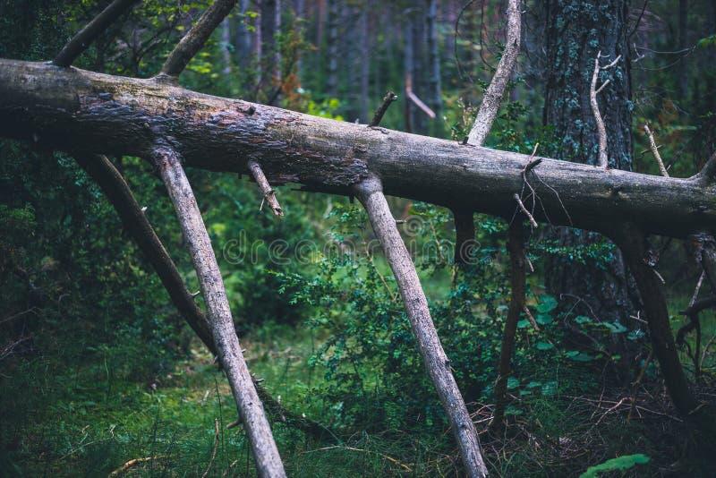 Brutna döda sörjer trädet i skogen i Spanien fotografering för bildbyråer