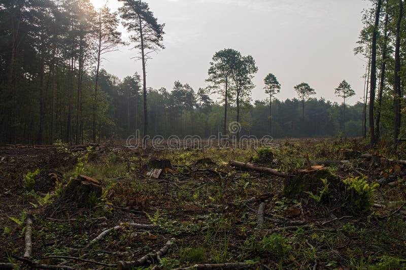 Brutna träd i skogen efter starka vindar arkivbilder