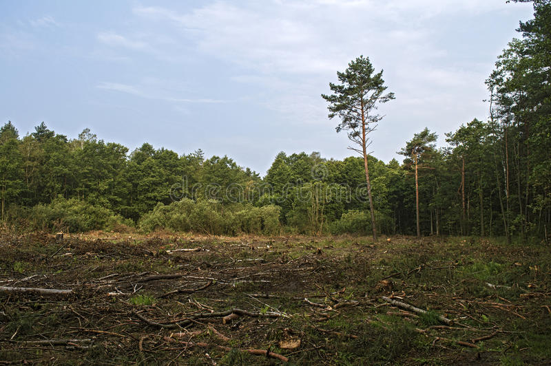 Brutna träd i skogen efter starka vindar arkivfoton