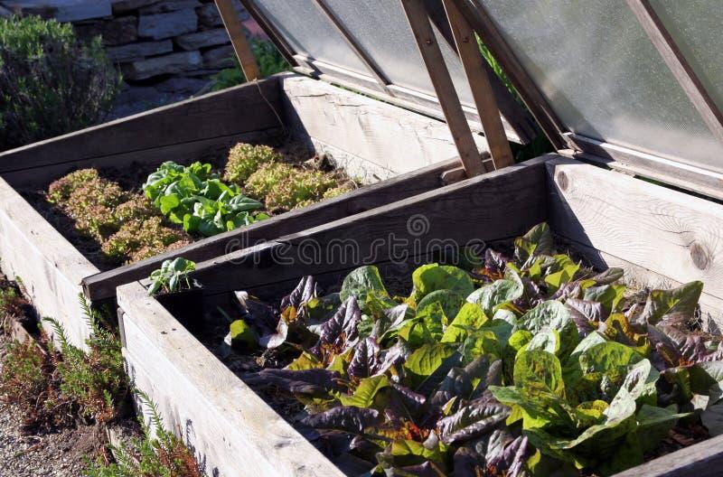 Brutstätte mit Radicchio und Kopfsalat im Gemüsegarten stockfoto