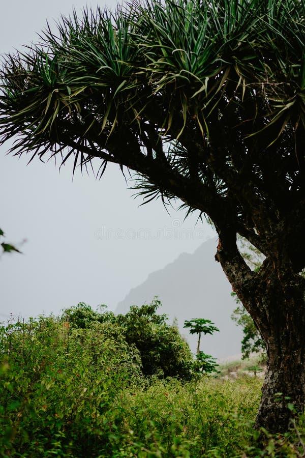 Bruxa velha da árvore de dragão em Santo Antao, Cabo Verde Cabo Verde foto de stock royalty free