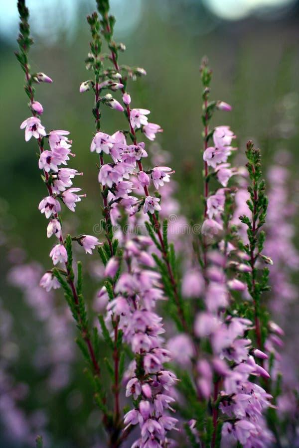 Bruyère (Calluna vulgaris) photographie stock libre de droits