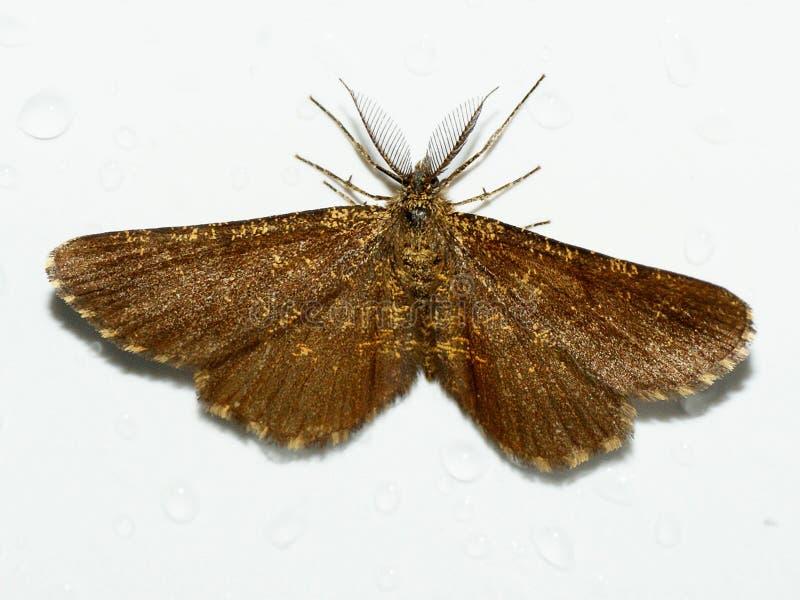 Bruyère commune, atomaria d'Ematurga, mite, Geometridae image stock