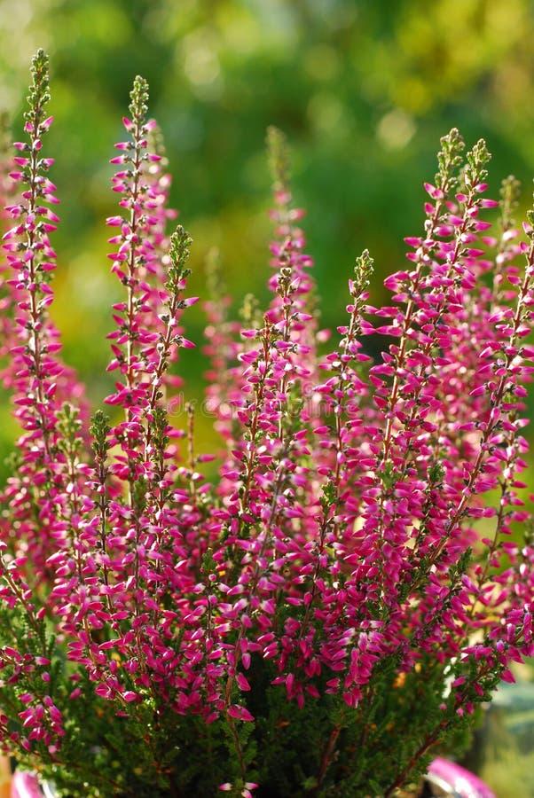 Bruyère dans le jardin d'automne photographie stock libre de droits
