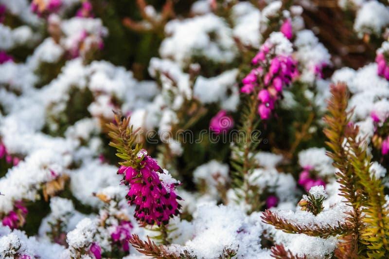 Bruyère et neige images libres de droits