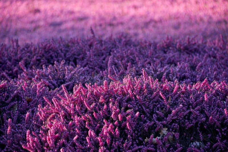 bruyère lilas photos stock