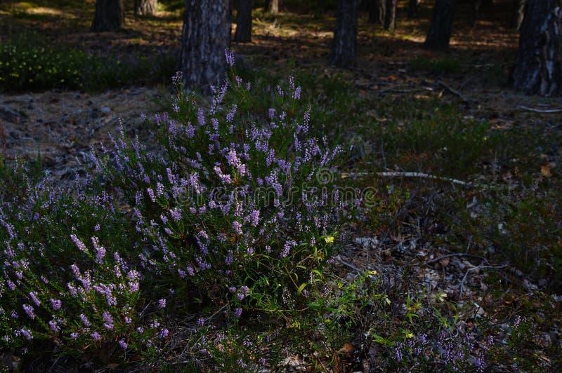 Bruyère, ling, ou simplement bruyère commun dans la forêt près de Shatsk images libres de droits