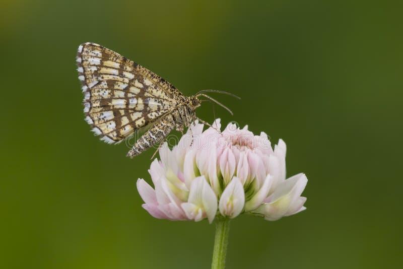 Bruyère treillagée alimentant sur la fleur de tréfle blanc images stock