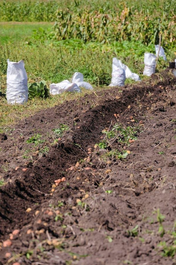 Bruzda z uprawą młode grule Rolnictwo w wieś ogródzie fotografia royalty free