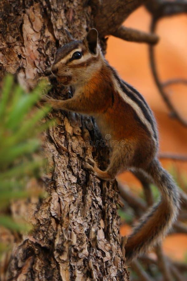 Bryce Canyon National Park is een Nationaal Park van Verenigde Staten in de Canionland van Utah royalty-vrije stock afbeelding